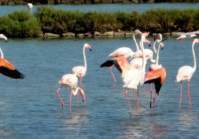 Pink flamingos in the salt fields of Carloforte