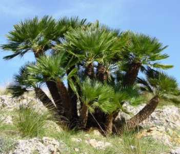 The dwarf palm